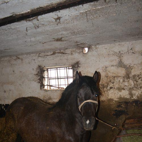 Chrapka - W tuczarni, w której stoi ponad 30 koni, wynegocjowali�my życie dla karej 5 letniej klaczy  (polski ko� zimnokrwisty). Pami�tamy j� jeszcze z targu, sta�a ca�a oblepiona odchodami i  szuka�a czu�o�ci w�ród przechodz�cych. Cena jej życia to 8 tys. Wykupiona przez Benka, trafi  pod opiek� naszych przyjació� z Przystani Ocalenie. Dzi�kujemy, że zawsze można liczy� na Wasze wsparcie! � w: stajnia Stowarzyszenie Benek.